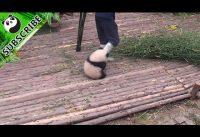 Panda wil knuffelen 5