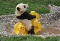 Spelende babypanda 4