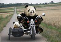 Compilatie van Pandafilmpjes 2