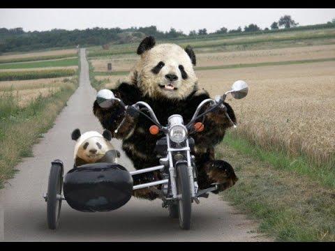 Compilatie van Pandafilmpjes 1