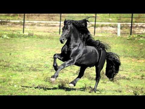 WORLD FAMOUS FRIESIAN STALLION 1