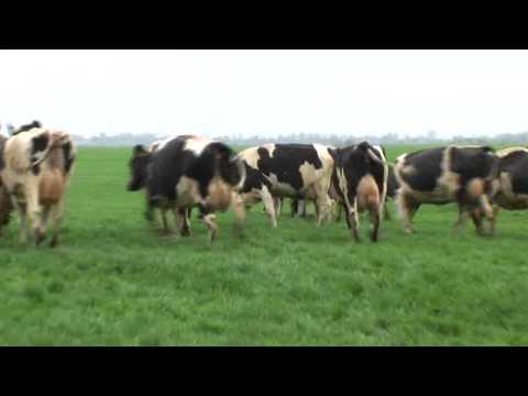 Hoera, lente, de koeien naar buiten! 7