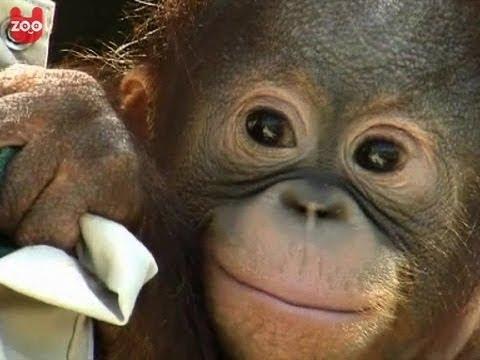 Baby Orang Oetang