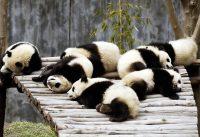 Grappige panda's 3