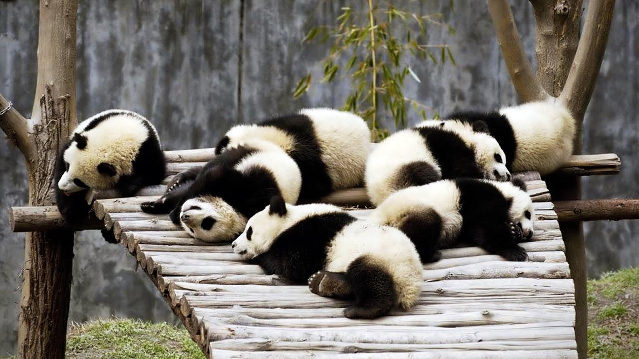 Grappige panda's 1