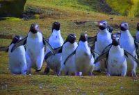 Grappige pinguins 10