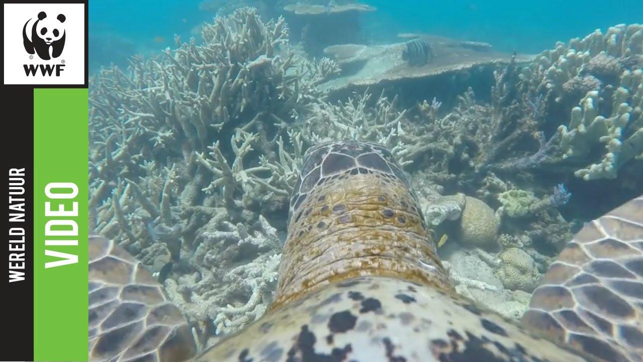 Great Barrier Reef door de ogen van een schildpad met een GoPro 4